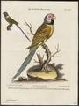 Palaeornis bengalensis - 1700-1880 - Print - Iconographia Zoologica - Special Collections University of Amsterdam - UBA01 IZ18500053.tif