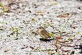 Palm warbler (24912789561).jpg