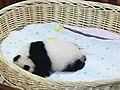 Panda (187264519).jpeg