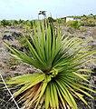 Pandanus heterocarpus at Anse Quitor Nature Reserve 1.jpg