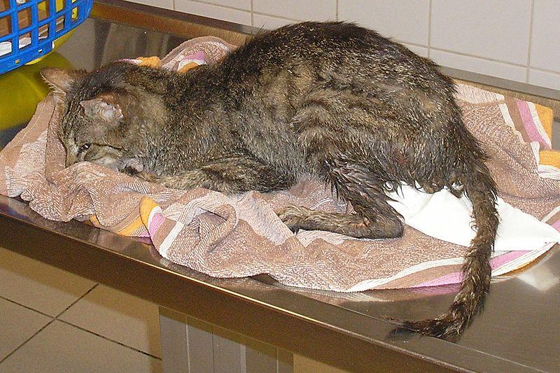 Fájl:Panleukopéniás macska (macska parvo).jpg
