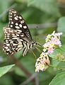 Papilio demoleus 01.jpg