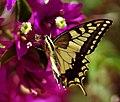Papilio machaon (KPFC) (06).jpg
