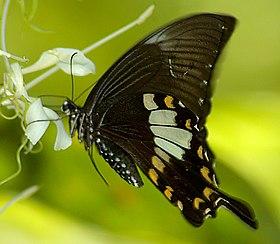 Papilio nephelus.jpg