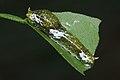 Papilio polytes caterpillar-Kadavoor-2016-03-25-002.jpg