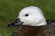Paradise shelduck portrait, New Zealand.jpg