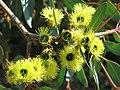 Parc Gonzalez - Eucalyptus preissiana (flowers).jpg