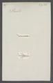 Pasites - Print - Iconographia Zoologica - Special Collections University of Amsterdam - UBAINV0274 045 08 0025.tif