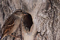 Passer domesticus -with an insect for her young -female -nest-8a.jpg