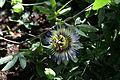 Passiflora caerulea Schmetterlinghaus Burggarten Wien 34.jpg