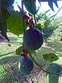 Passiflora ligularis - Granadilla 03.jpg
