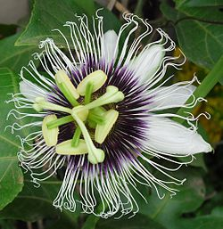 Passion fruit flower (Passiflora edulis var. flavicarpa).jpg