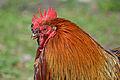 Paulx - Bantam rooster (2).jpg