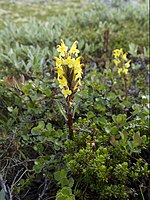 Pedicularis oederi LC0330.jpg