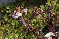Pedicularis racemosa 0158.JPG