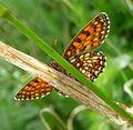 Peep-bo^ Assman's Fritillary.Mellicta britomartis. - Flickr - gailhampshire.jpg