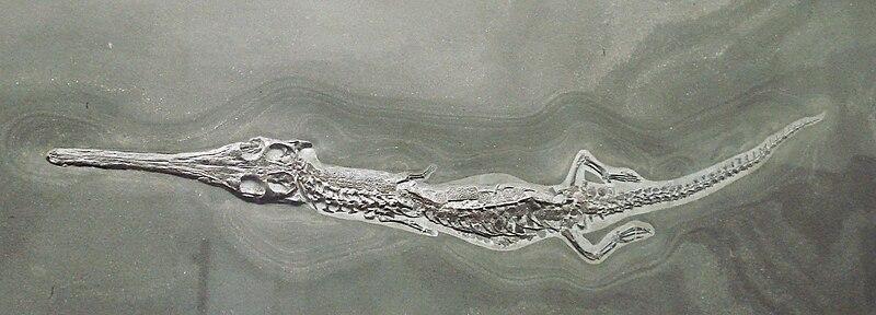 File:Pelagosaurus typus.JPG
