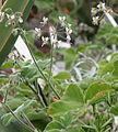 Pelargonium tomentosum 04.jpg