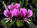 Pelargoniumcordyfolium.JPG