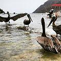 Pelicanos la Cienaga.jpg