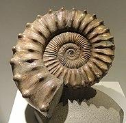Peltoceras sp., Middle Jurassic, Volga River, Russia - Houston Museum of Natural Science - DSC01893.JPG