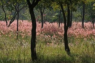 <i>Pennisetum pedicellatum</i> species of plant