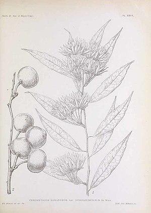 Pentadiplandra - Image: Pentadiplandra etching 1909