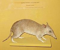 Perameles nasuta (Harvard University).JPG
