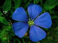 בד פשתן מיוצר מצמח הפשתה Perennial Flax flower ויקיפדיה ארה,ב
