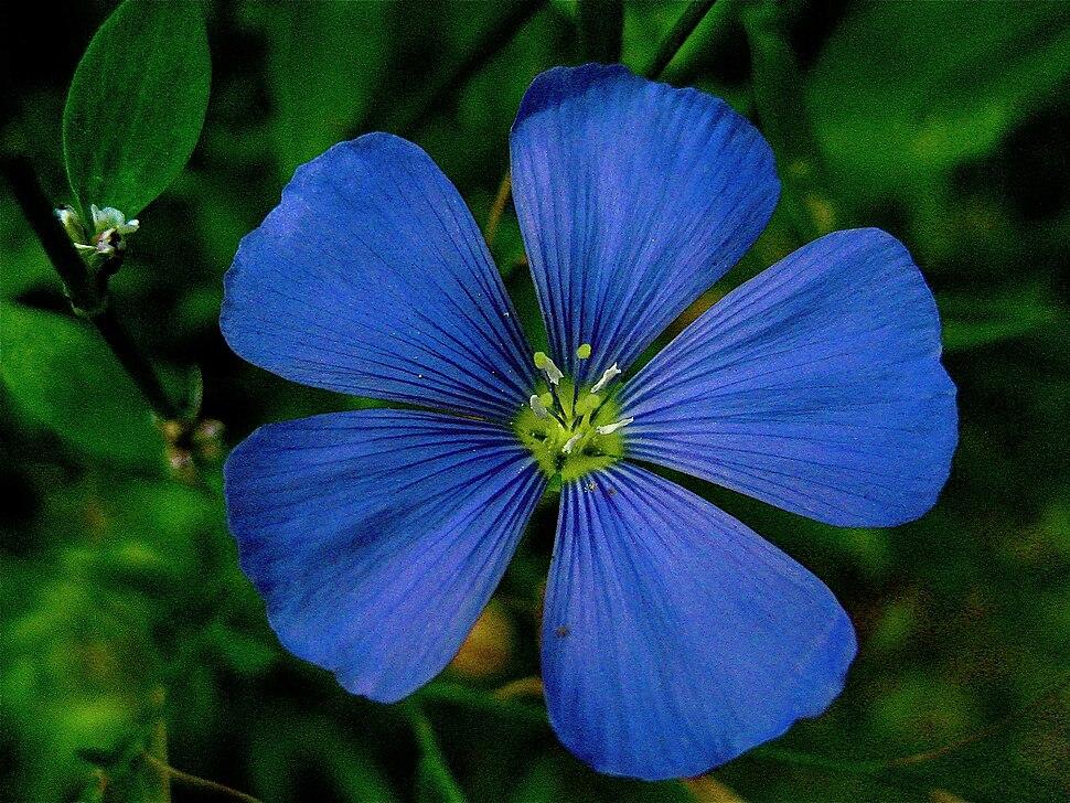 Perennial flax or linum perenne