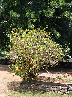 <i>Pereskia bleo</i> species of plant