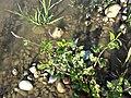 Persicaria lapathifolia subsp. brittingeri sl2.jpg