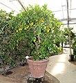 Pescia, Giardino degli agrumi hesperidarium, di oscar tintori vivai, 24 citrus sinensis sanguinaeum pernambuco.jpg