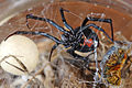 Pet redback with eggsac and prey.jpg