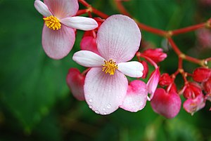 Begonia - Pink flowering Begonia