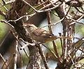 Phacellodomus rufifrons - Rufous-fronted thornbird.JPG