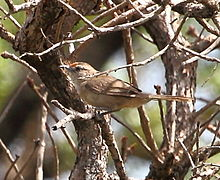 Phacellodomus rufifrons - Rufous-fronted thornbird.JPG