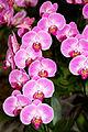 Phalaenopsis Sogo Beach Niep - Internationale Orchideen- und Tillandsienschau Blumengärten Hirschstetten 2016 c.jpg