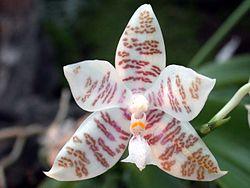 Фаленопсис ієрогліфічний