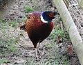 Pheasant (33479120300).jpg