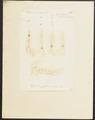 Phoca ursina - gebit - 1700-1880 - Print - Iconographia Zoologica - Special Collections University of Amsterdam - UBA01 IZ21100081.tif