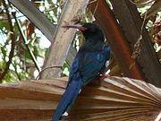 Phoeniculus purpureus 0008