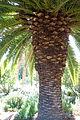 Phoenix canariensis - Leaning Pine Arboretum - DSC05710.JPG