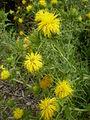 Phonus arborescens 2c.JPG