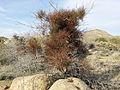 Phoradendron californicum 031611.jpg