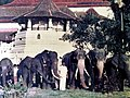 Photograph of Mr.Neranjan Wijeyeratne with the Sri Dalada Maligawa elephants - Raja,Skanda,Jaya Raja & a few more.jpg