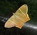 Phrygionis polita (Geometridae) - Flickr - gailhampshire.jpg