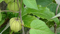 Physalis angulata.