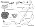 Physarum life cycle.pdf