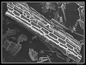 Phytolith - Image: Phytolithes observés au Microscope Electronique à Balayage 06